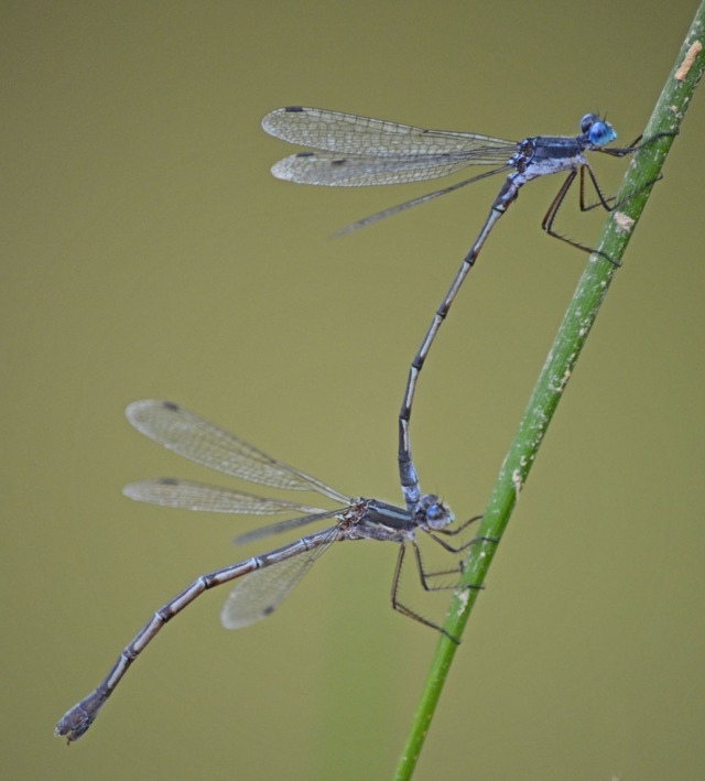 damselflies preparing to mate