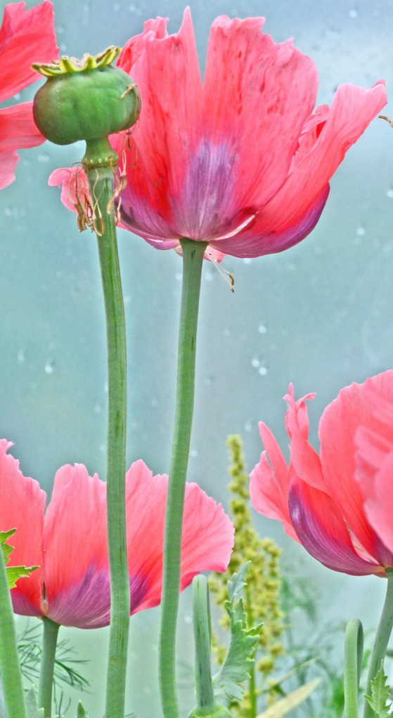 dreamy pastel poppies