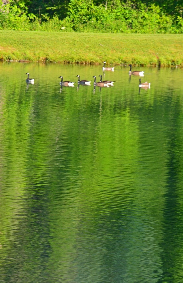 geese and reflections