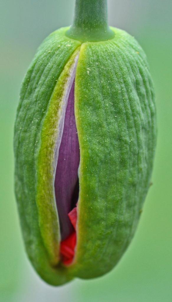 poppy bud opening