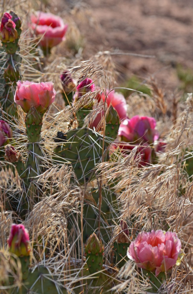 pink cacti in evening light