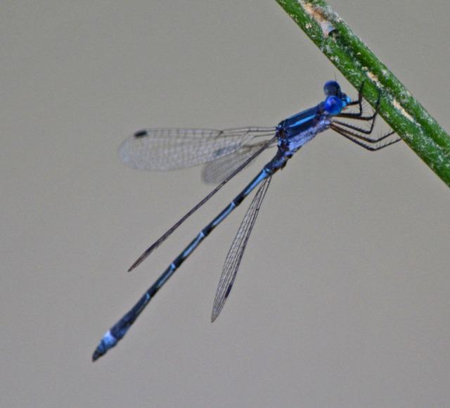 single blue damselfly