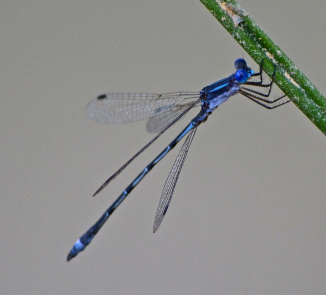 single blue damselfly