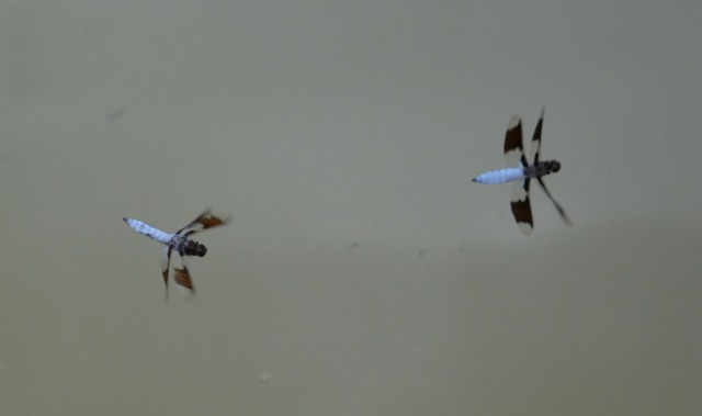 two dragonflies over water