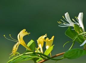 white and yellow honeysuckle