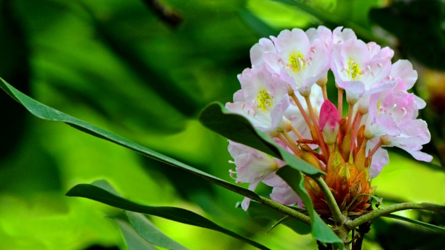 Wild rhododendron