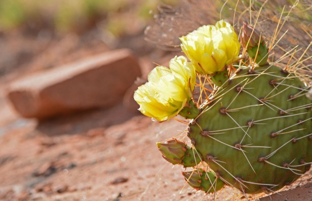 yellow cactus with rock
