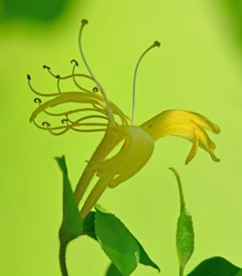 yellow honeysuckle blossom
