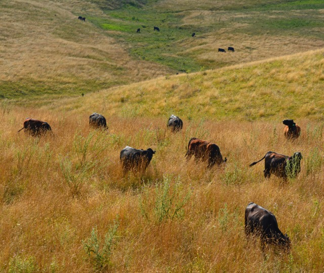 cattle herd in summer pasture