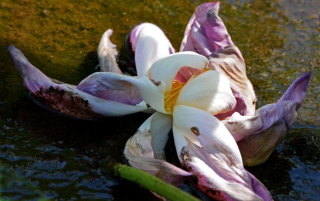 dead flower in water