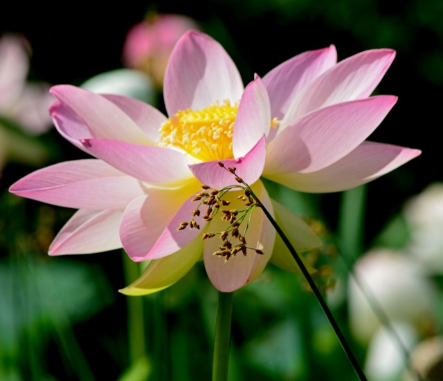 grass and lotus