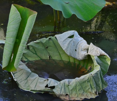 leaf filled with muddy water