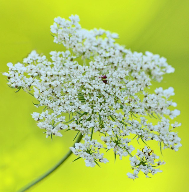 Queen Anne's Lace flower cluster