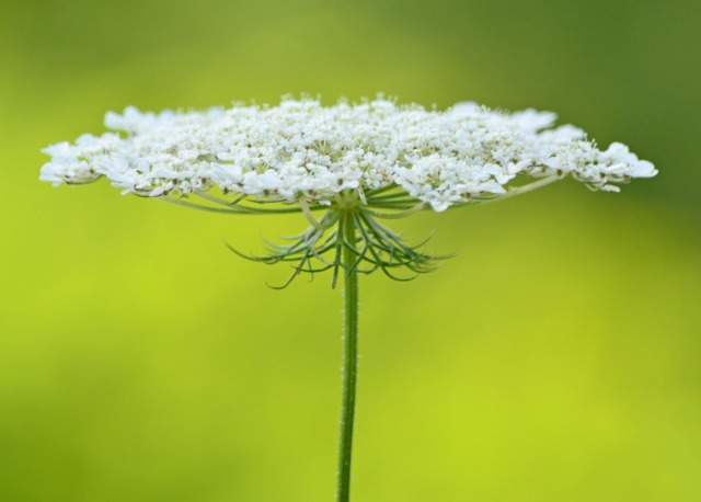 Queen Anne's Lace side view