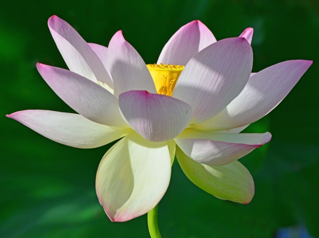 A perfect lotus flower
