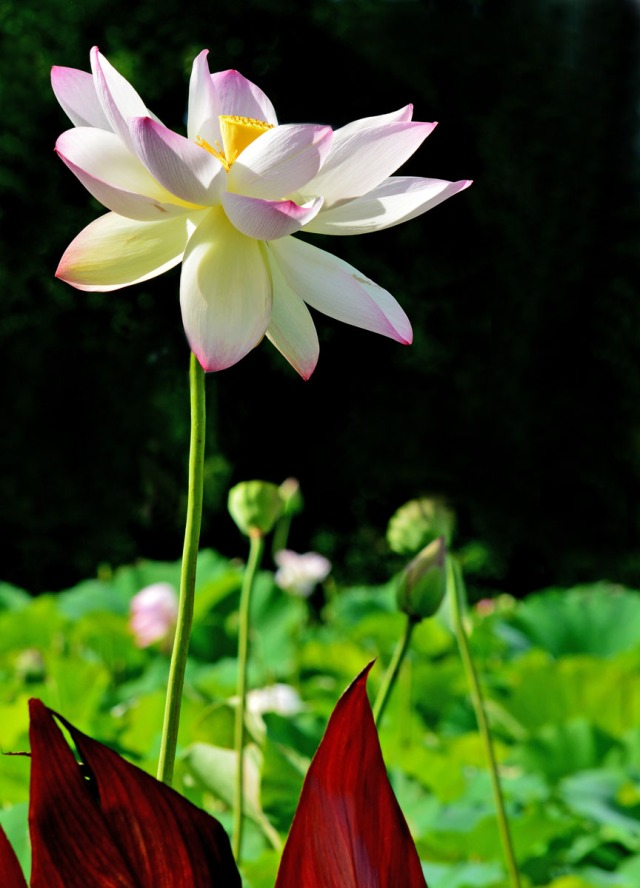 tall lotus with red canna leaves