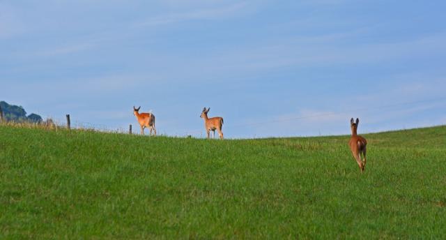 deer on the edge of the ridge