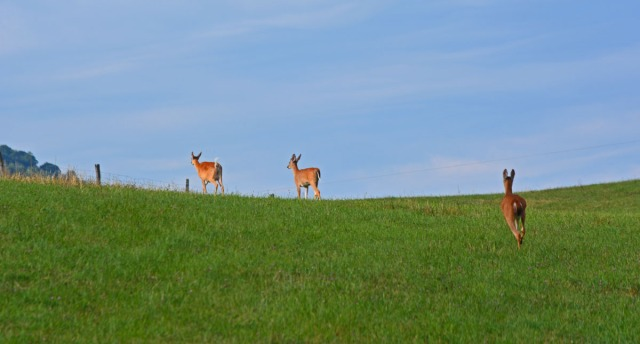 deer on the edge of the ridge