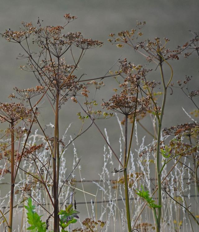 wild parsnip seedheads