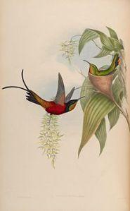 Fiery Topaz,  Illustration by John Gould