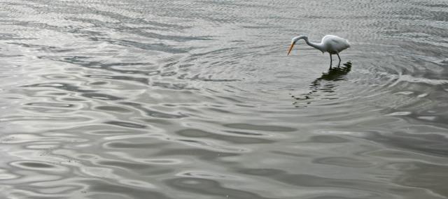 Heron making ripples
