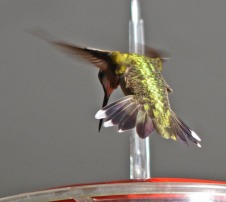 hovering at feeder, tail feathers splayed