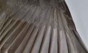 songbird feathers