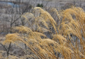 stand of dry grasses
