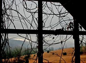 tangled vines on pergola