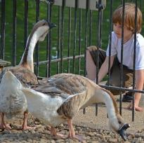 boy watching geese