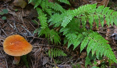 brown mushroom, green fern