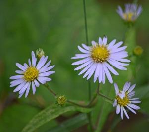daisy look alike