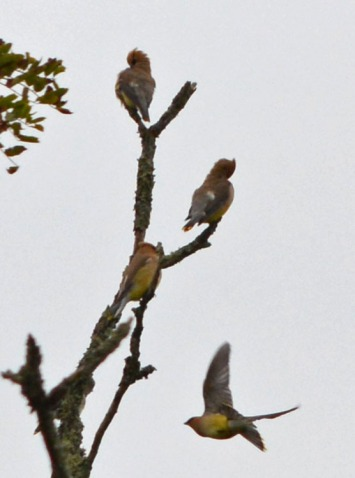 four waxwings