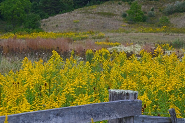 Goldenrod behind the fence