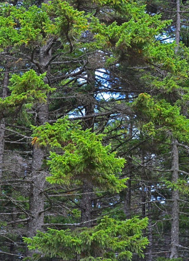 green spruce trees