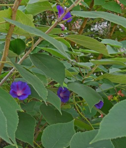 morning glories spreading through the bushes