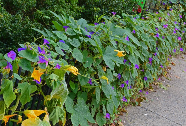 Morning glories and pumpkin blossoms along the fence