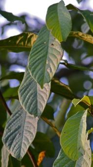 pawpaw leaves