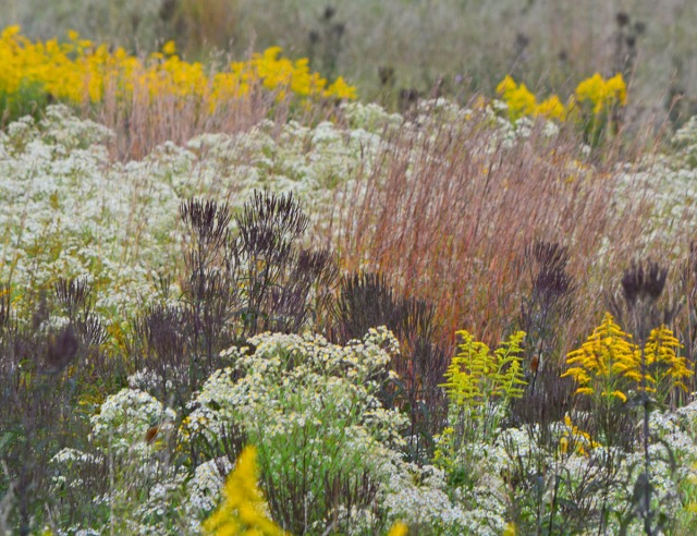 Pink grasses and fleabane