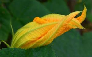 single pumpkin blossom