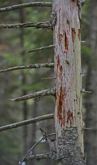 standing deadwood