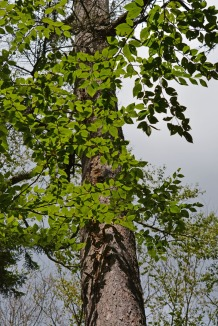 tree with leaves so green