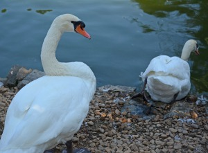 two swans heading into the water