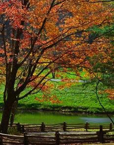 autumn tree over green pond