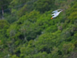 Royal Tern diving from up high