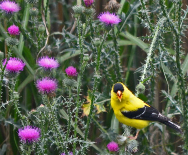Goldfinch on thistles