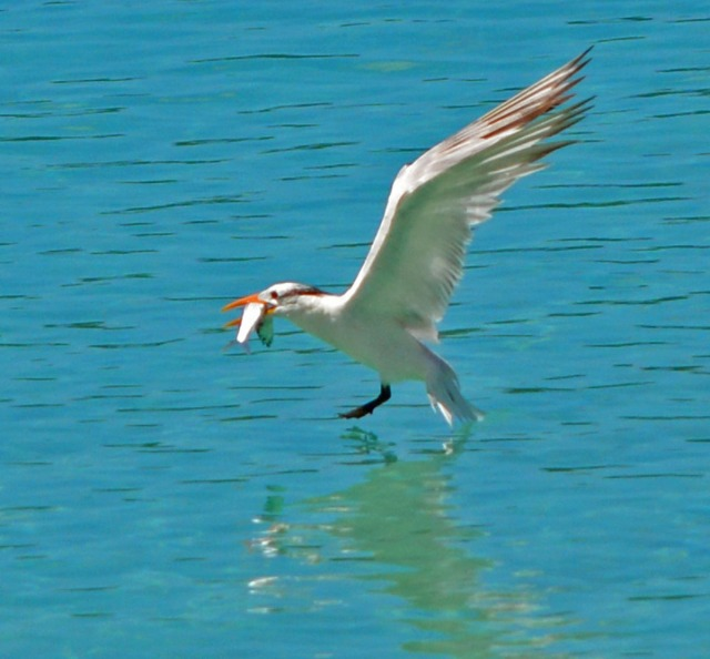 Royal tern with fish