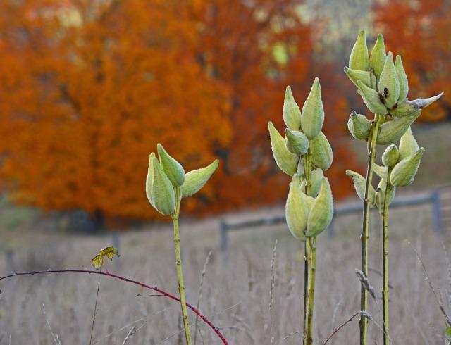 stand of milkweed