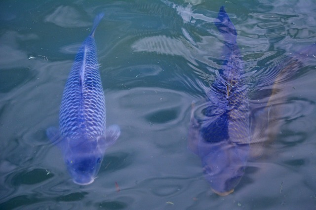 two blue carps