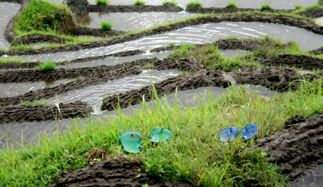 flipflops at edge of rice fields